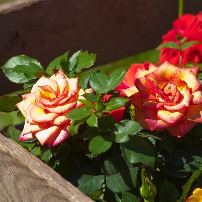 Orange-gule roser i sola