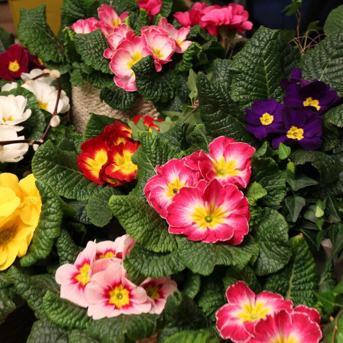 Primula i en mengde farger