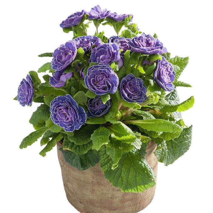 Blå primula med fylte blomster