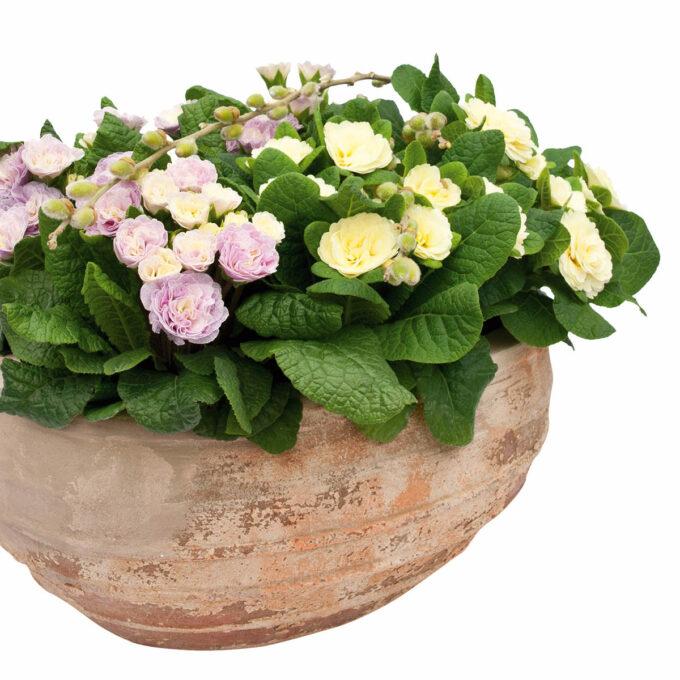 Primula med fylte blomster i stødig potte