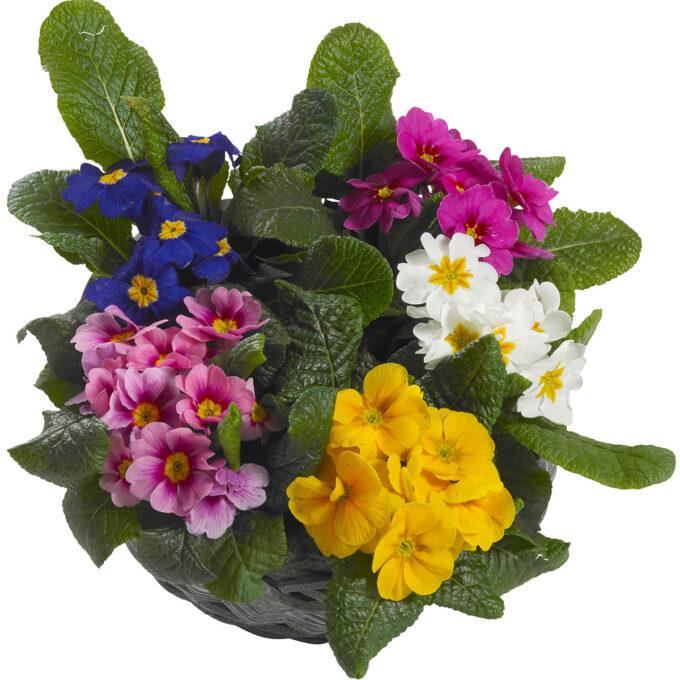 Blå, lyserosa, mørkerosa, hvite og gule primulablomster