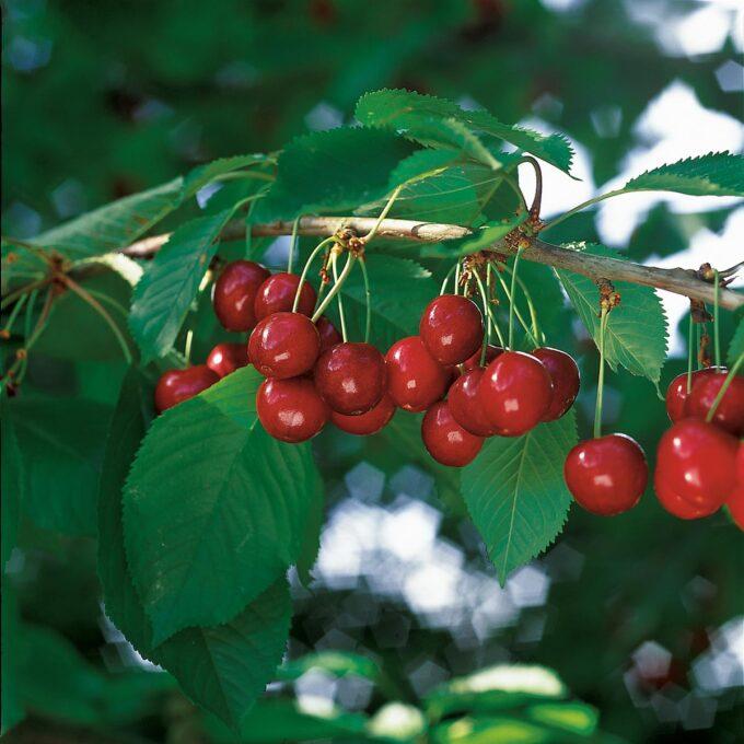 Saftige klaser med sterkrøde Stella sundburst søtkirsebær på treet