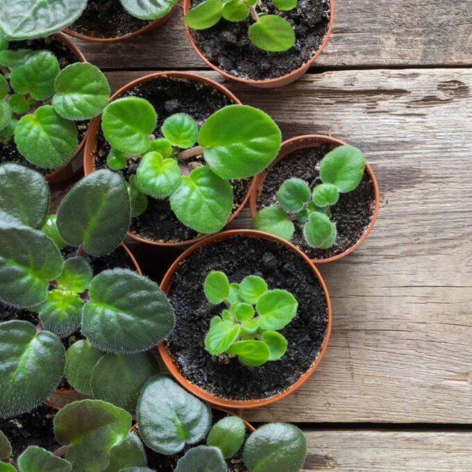 St. Paulia-planter i potter uten blomster