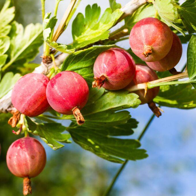 Nærbilde av stikkelsbær Hinnomäki Rød i sollys