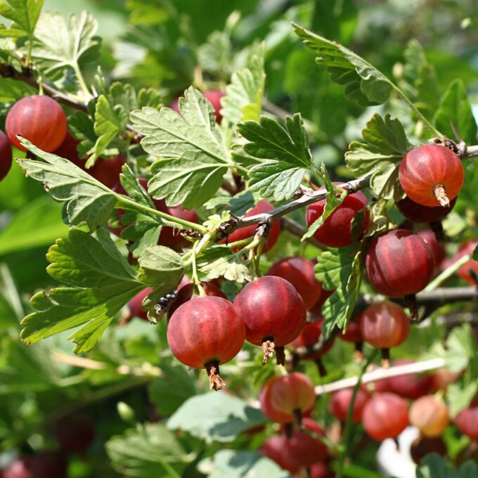 Nærbilde av røde Hinnomaki stikkelsbær