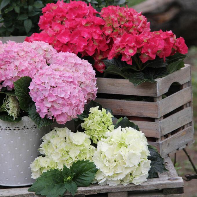 Hortensia i rosa og hvitt