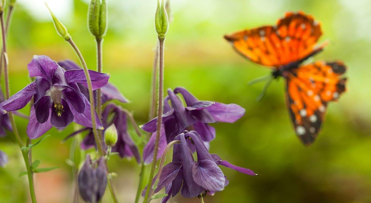 oransje sommerfugl og lilla akeleie