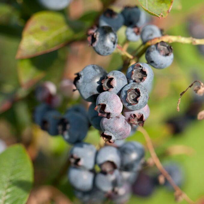 Hageblåbær 'Chippewa'