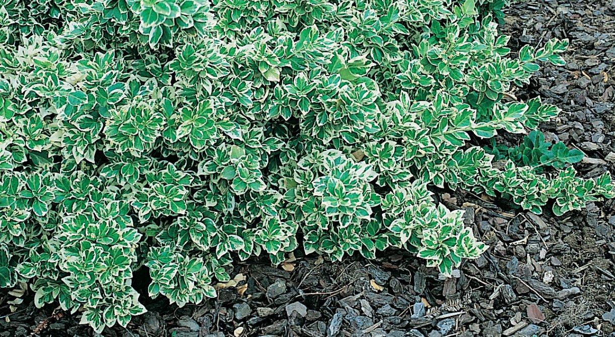 Klatrebeinved - Euonymus fortunei