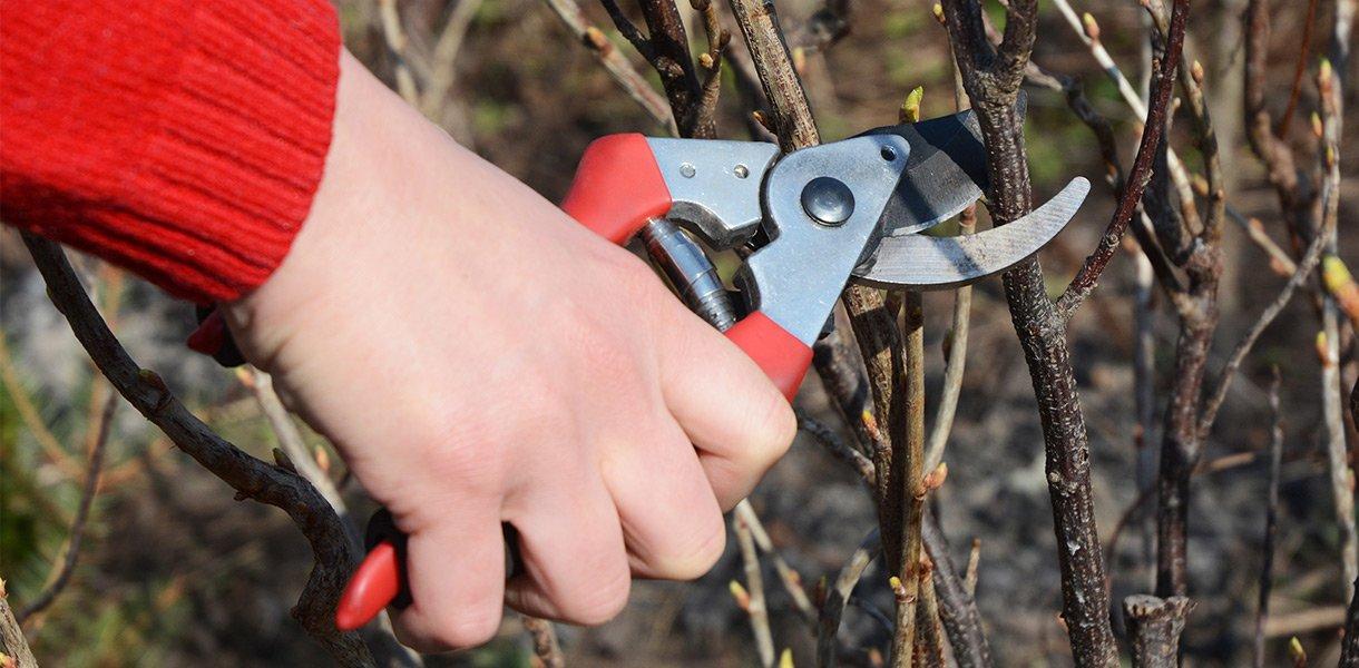bærbuske beskjæring kutte verktøy