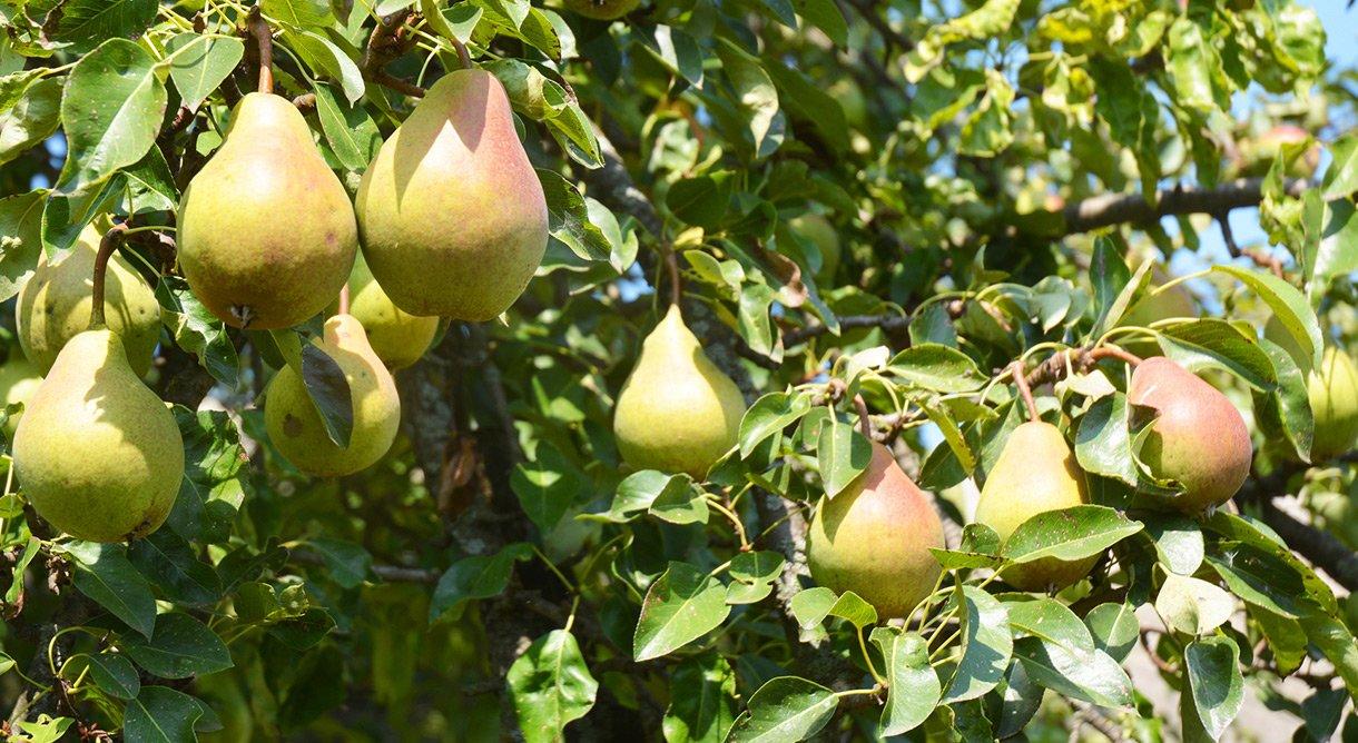 Pæretre med grønne pærer