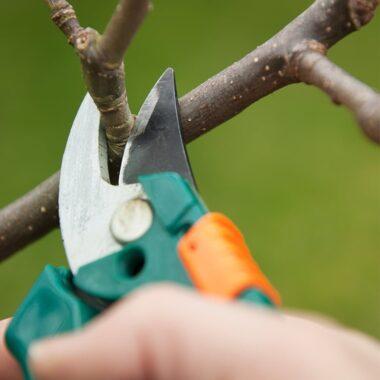 nærbilde av tynn gren som blir kuttet med hagesaks