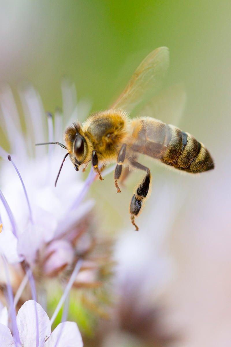 bie på lilla blomst