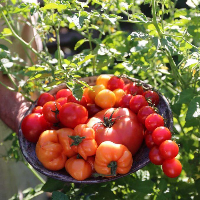 Skål med høstede bifftomater og andre tomater i tomatåker