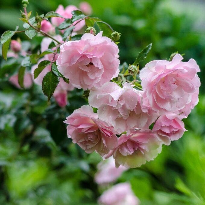 klaserose rosa Bonica