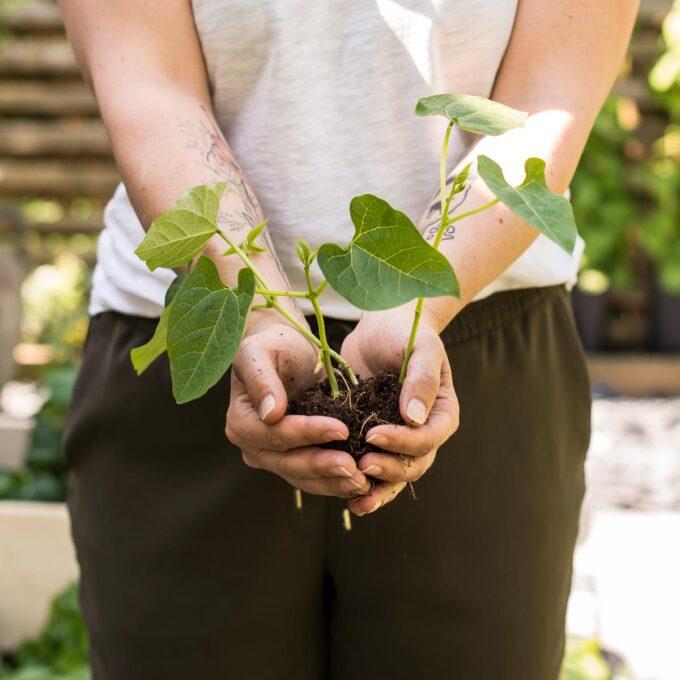 Utplanting av unge brekkbønne-planter