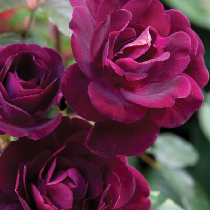stilkrosa mørk burgunder Burgund