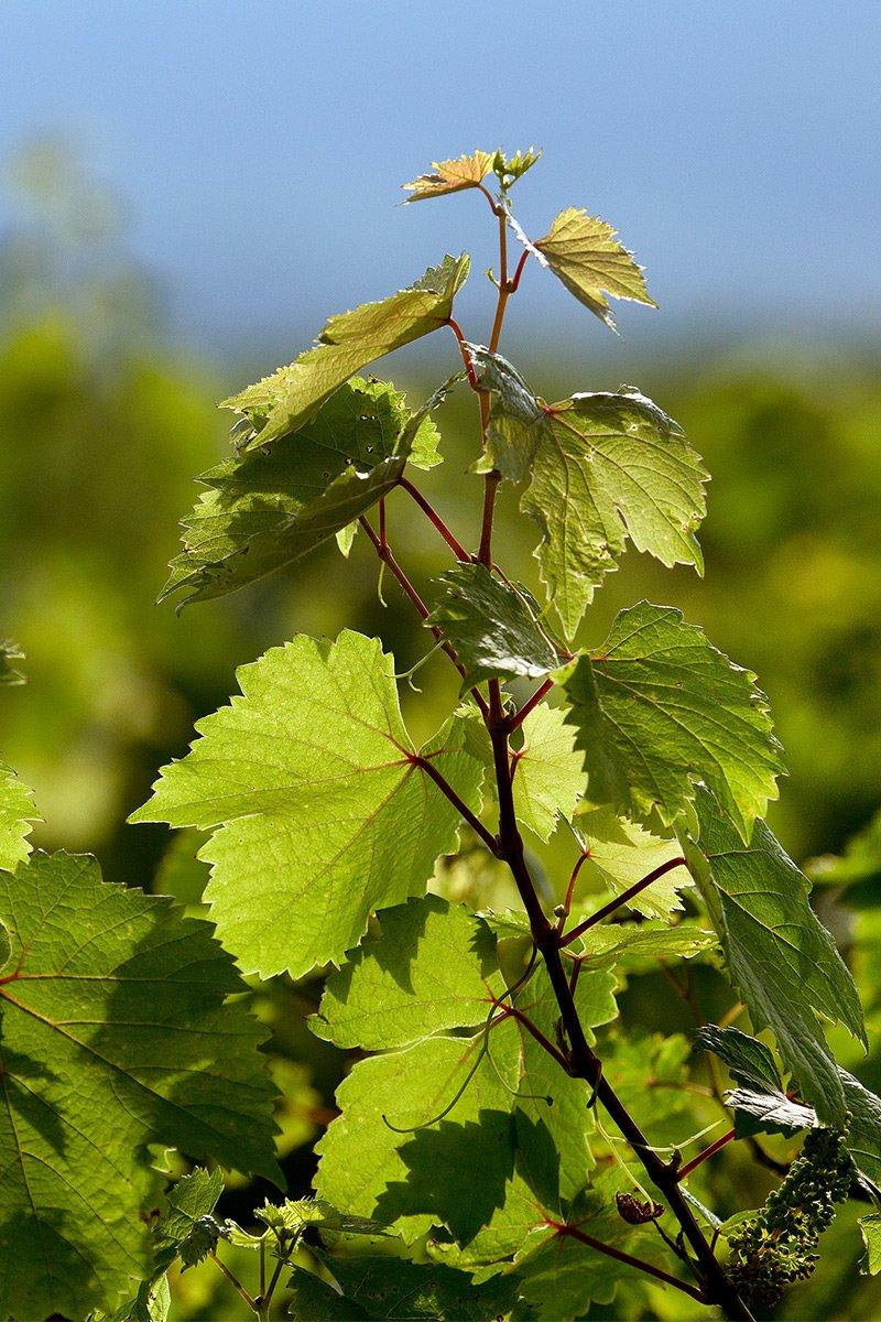 grønne drueblader i sollys