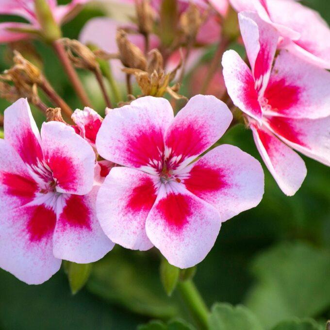 Engelsk pelargonium