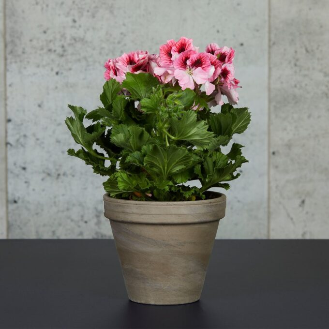 Engelsk pelargonia er en gammel klassisk stueplante Plasseres lyst men ikke direkte sollys