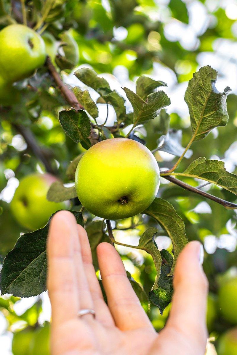 hånd plukker grønt eple av sorten Filippa