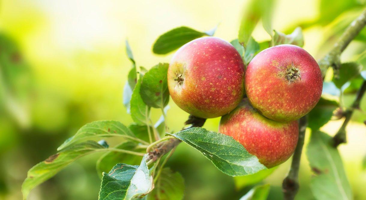 Tre røde epler av sorten Katinka på epletre