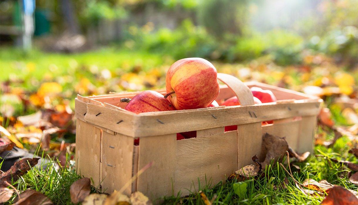 Røde epler i kurv på plen med høstløv