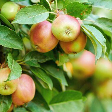 Røde epler på epletre