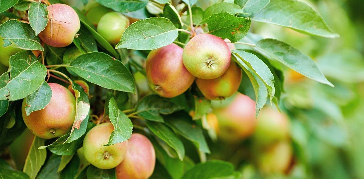 Nærbilde av røde epler på epletre