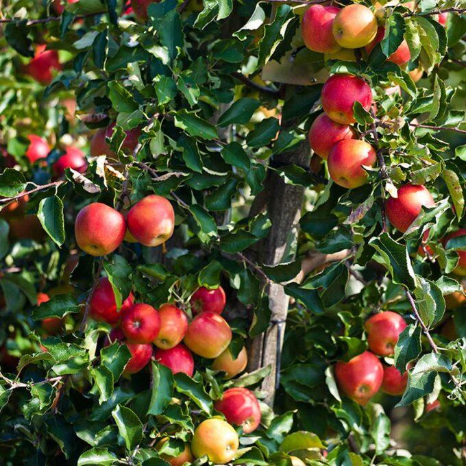 Summerred-epler på epletre, klare til høsting