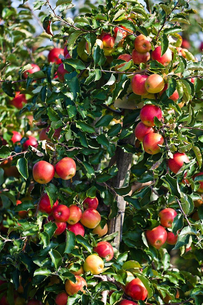 mange røde epler på et lite tre