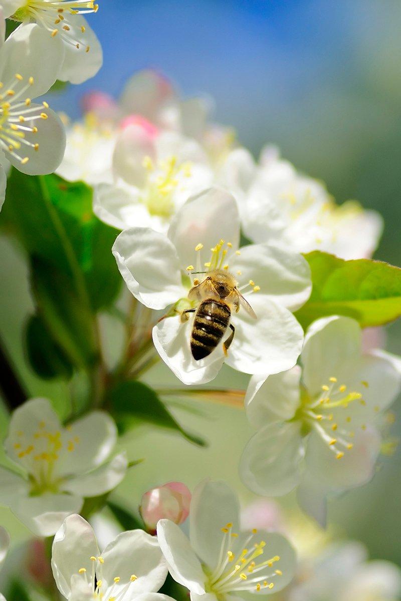 bie på epleblomst