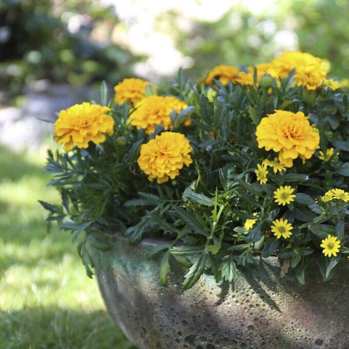 gul fløyelseblomst i krukke