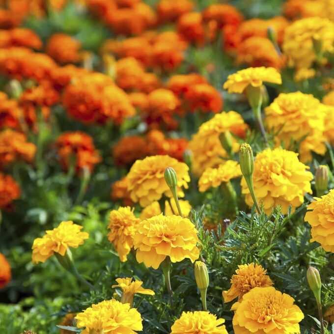 Gul og oransje fløyelsblomst, også kalt tagetes.