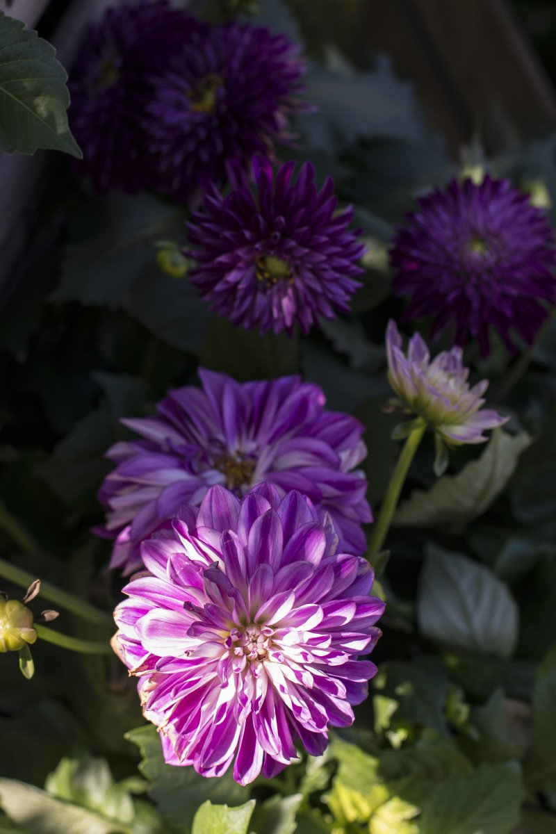 Nærbilde av lilla georginer i sollys i hage