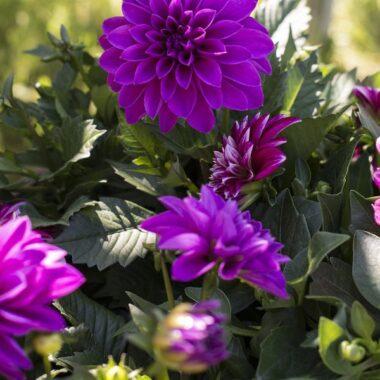 Nærbilde av lilla dahlia, georginer i sollys