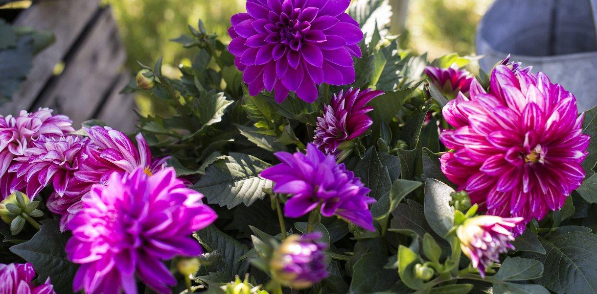 georgine blomst sommerblomst lilla dahlia
