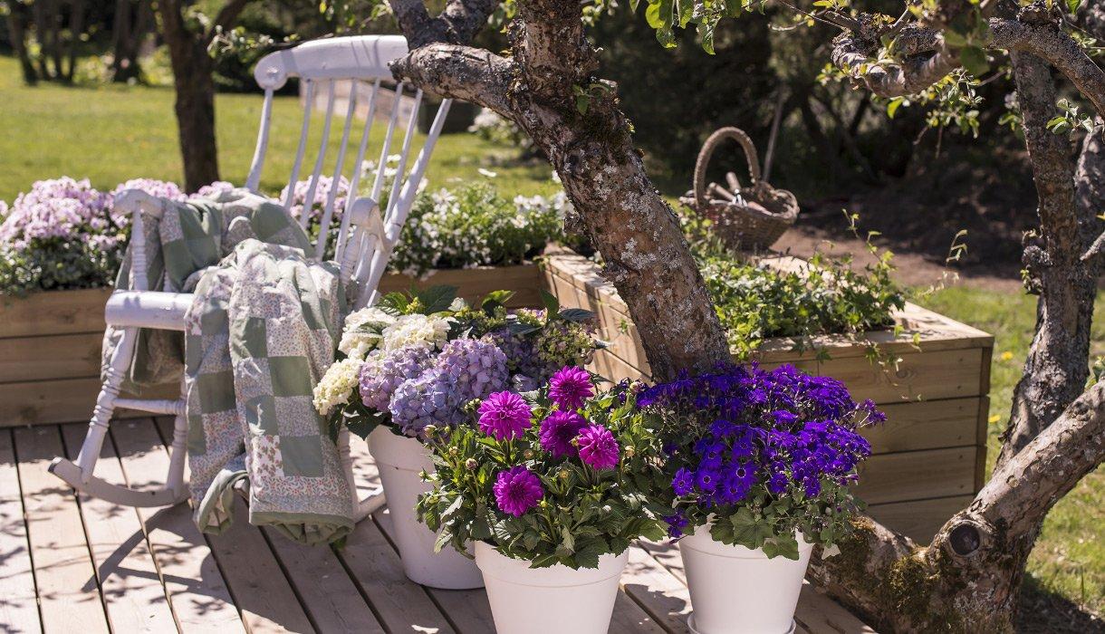 Hortensia og georginer i potter ved siden av gyngestol i hagemiljø på terrasse
