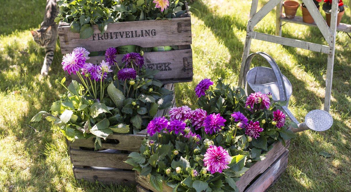 Dahlia, lilla georgine blomster i pallekarmer i hage