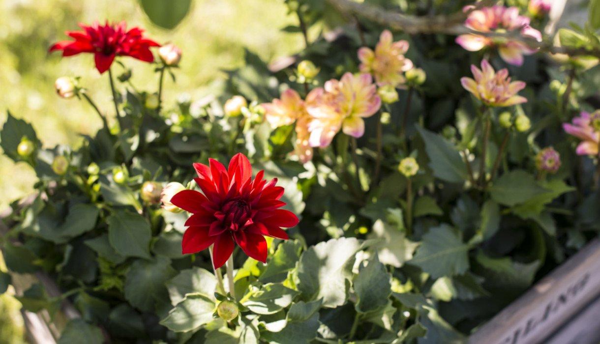 Dahlia, georginer i rød og gul-rosa, sommerblomster i hage