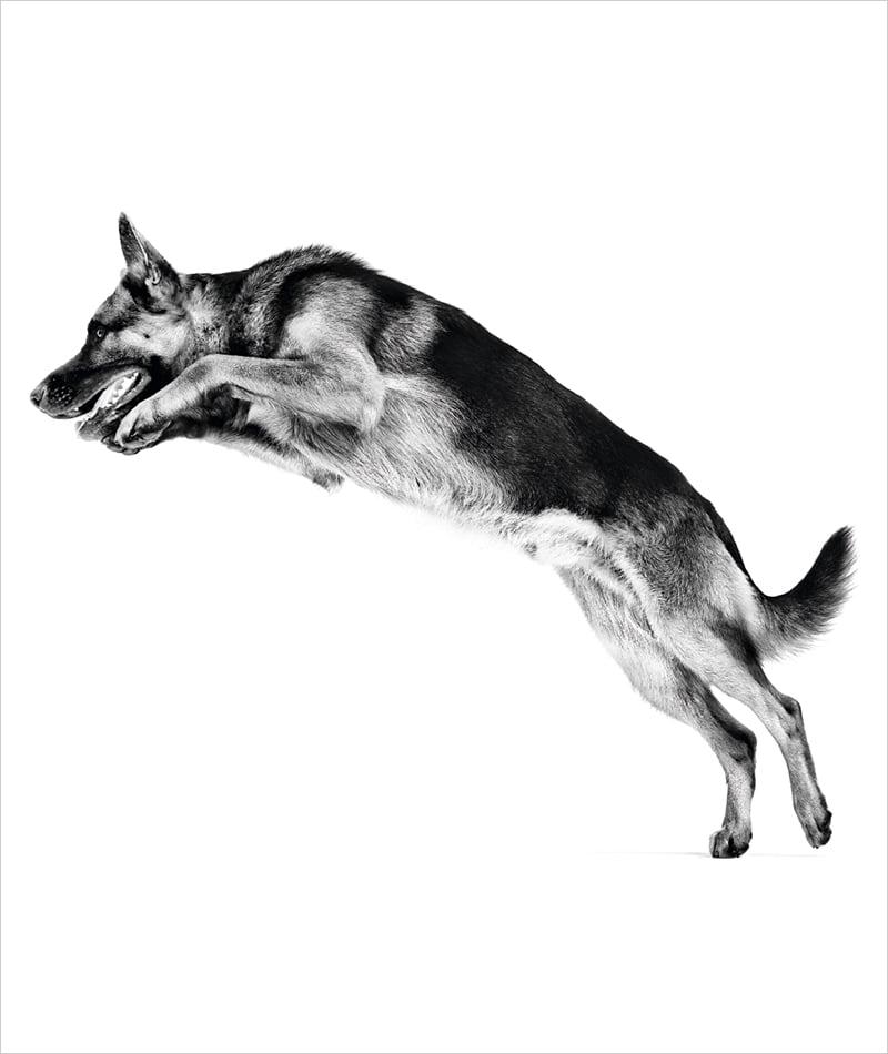 Schæferhund som hopper