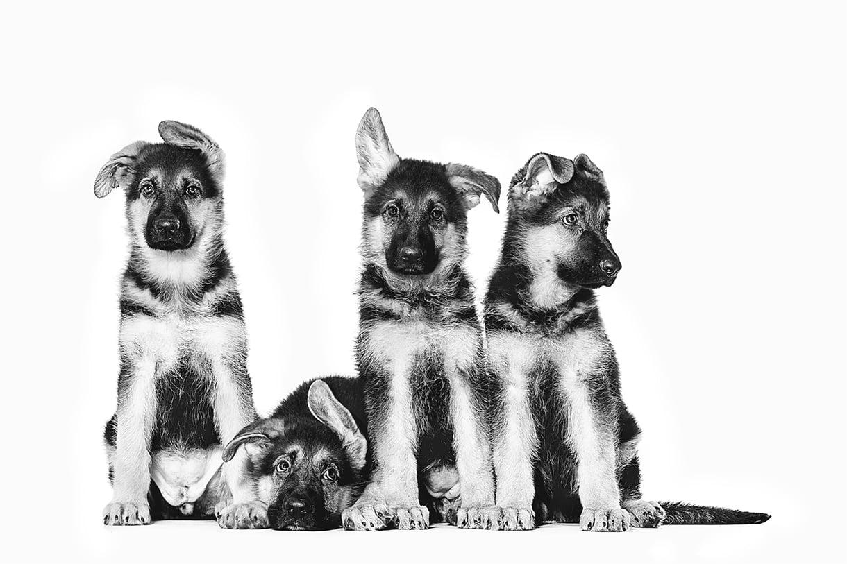 4 schæfervalper i sort-hvitt