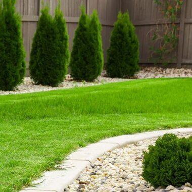 gressplen og thuja i hage