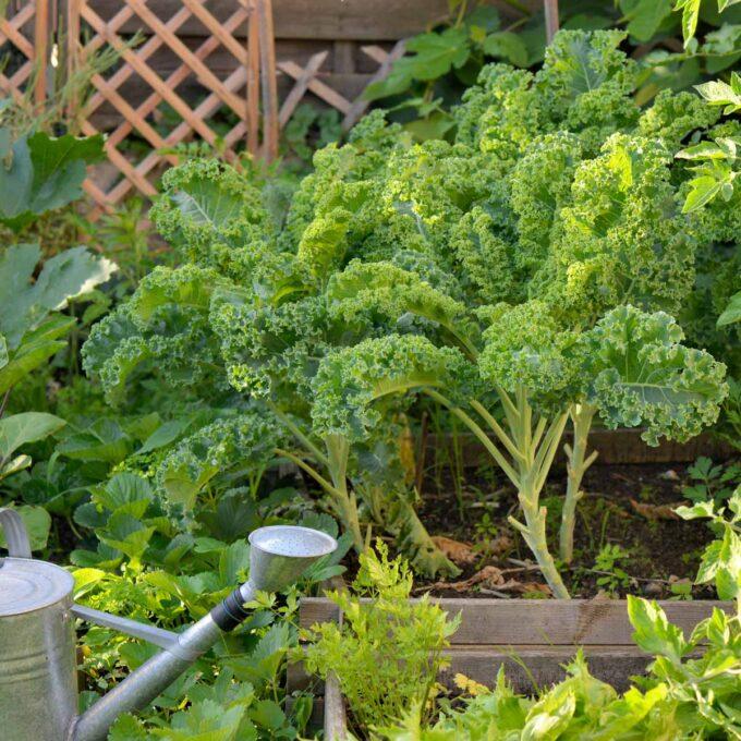 Stor, frodig grønnkål i grønsaksbed