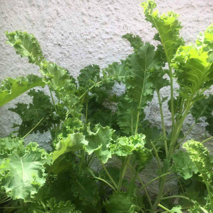 Grønnkål i grønnsaksbed ved vegg