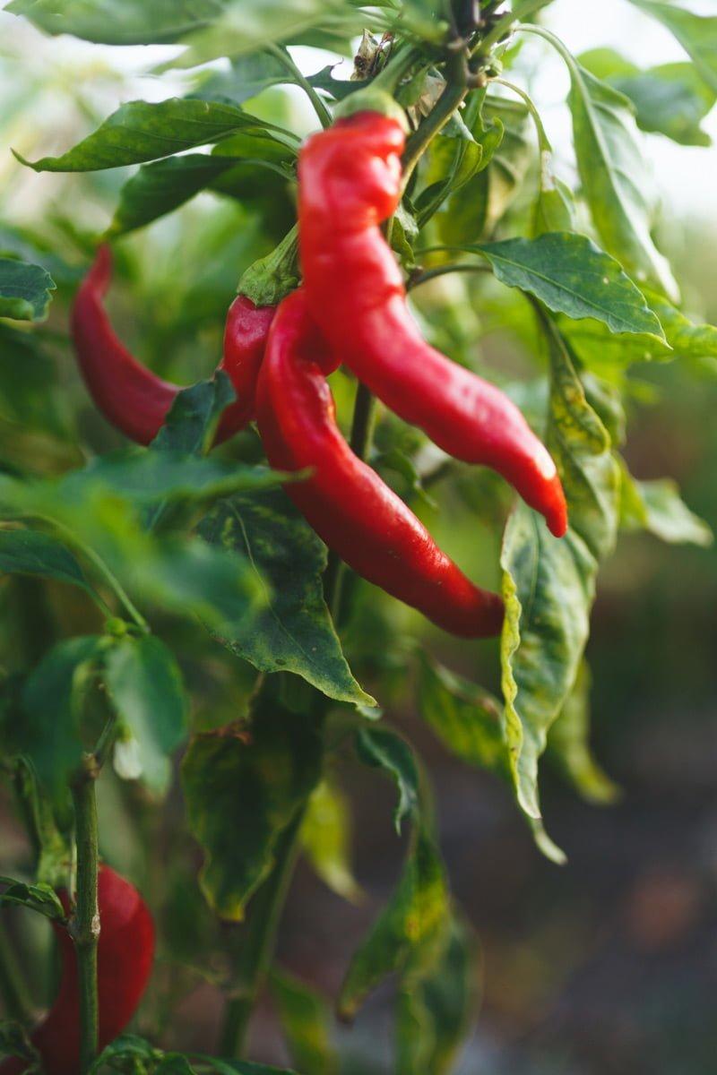 røde chili-frukter på planten