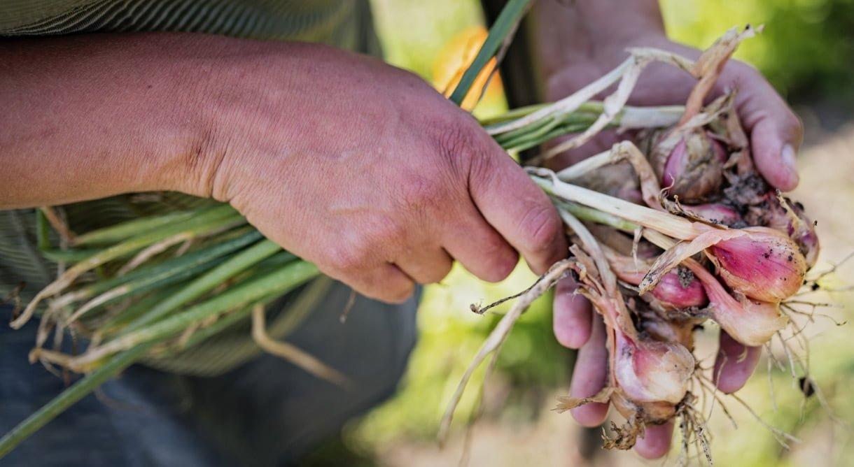 Utplanting av små salatplanter i bed i hender