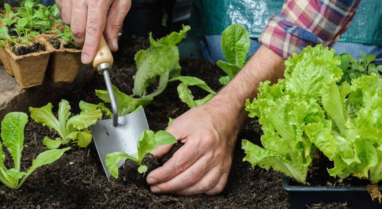Utplanting av små salatplanter i bed