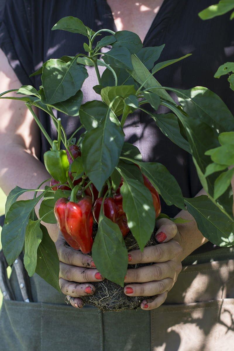 Person holder rundt røtter og jord på paprikaplante med røde paprika