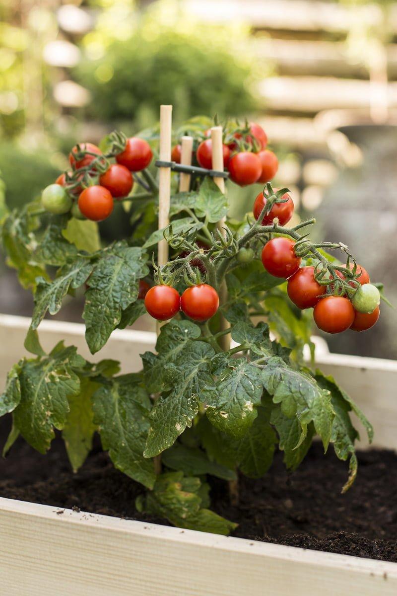 Røde tomater på tomatplante i pallekarm fylt med jord
